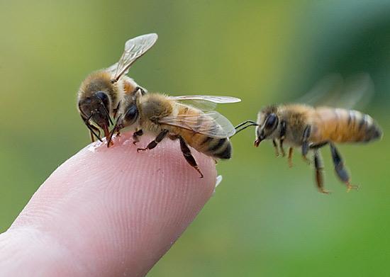 Buy Bees